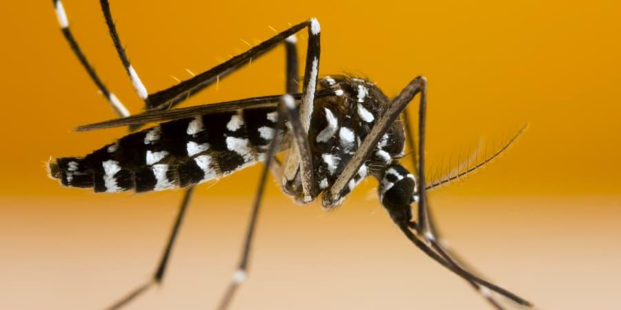 picadura mosquito tigre o Aedes